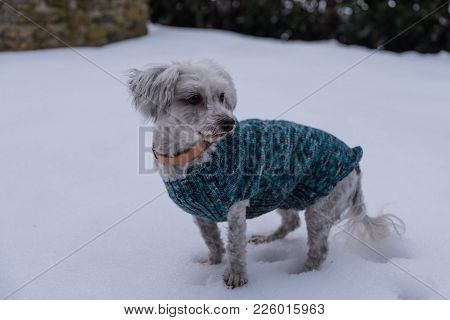 White Havanese With Dog Coat Curious In The Snow - Dog Fashion