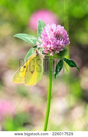 A Giant Sulphur Butterfly Sits On A Purple Clover.