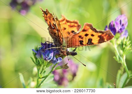 A Green Comma Butterfly Sips Nectar From A Flower.