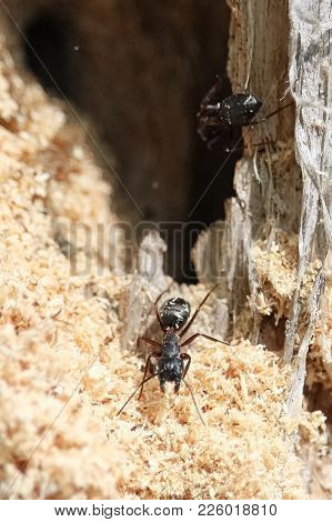 Boreal Carpenter Ants Constructing Their Nest In A Tree.