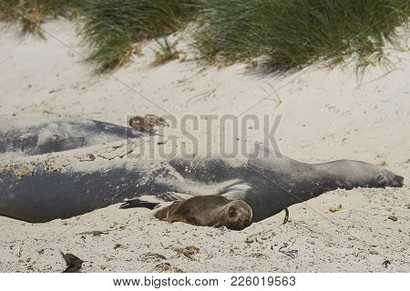 Young Southern Sea Lion (otaria Flavescens) Lying Next To A Group Of Southern Elephant Seals (miroun