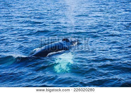 Humpback Whale Swimming In North Iceland. Gentle Giant