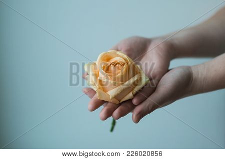 Atmospheric Toned Photo Of The Feamale Hands Holding Withering Rose On The Color Background. Concern