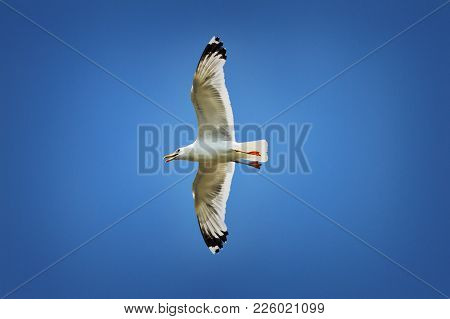 Caspian Gull In Flight Over Colorful Blue Sky ( Larus Cachinnans )