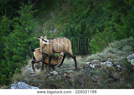 Chamois Goat  Feeding Her Youngster ( Rupicapra ); Wild Animals In Natural Habitat, Ceahlau Mountain