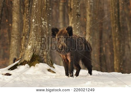 Curious Young Wild Boar In The Woods, Winter Image ( Sus Scrofa )
