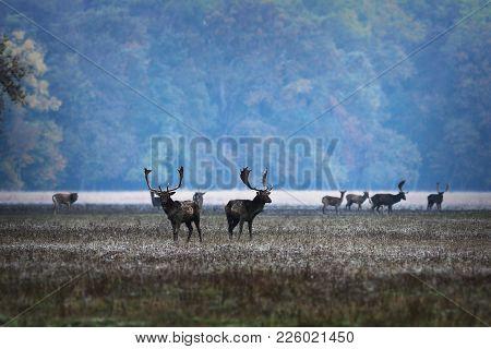 Fallow Deers In Mating Season, Morning Image Of Rutting Place ( Dama )