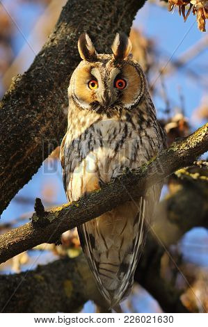 Long Eared Owl Perched In The Tree ( Asio Otus )