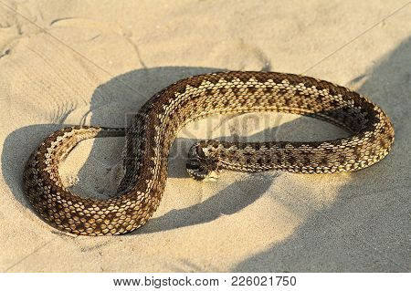 Moldavian Meadow Viper On Sand ( Vipera Ursinii Moldavica ); This Is One Of The Rarest Snakes In Eur