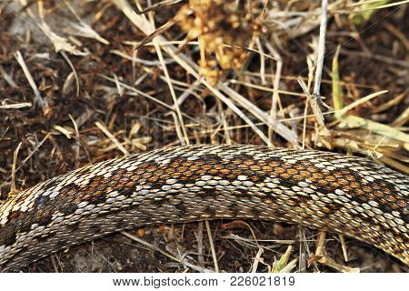 Pattern Of Moldavian Meadow Viper, A Snakee Listed At Critically Endangered In The Iucn Red List ( V