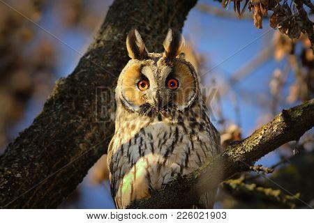 Portrait Of Long Eared Owl Looking At The Camera ( Asio Otus ); Bird In Natural Habitat