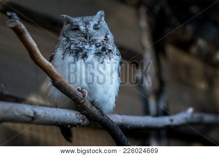An Adult Whiskered Screech-owl Perched On A Branch At Dusk