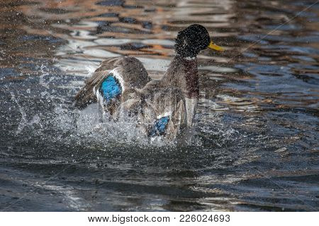 An Adult Mallard Drake Splashes In A Pond, Playing And Grooming Himself