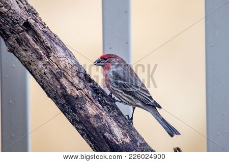 Adult Male House Finch, Carpodacus Mexicanus, Perched On A Branch