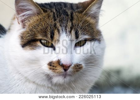 Common Spotted Cat Look Intently Into The Eyes