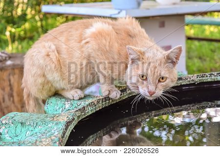 Old Street Cat Drinking Water From A Puddle In The Yard.