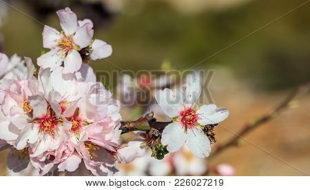Almond Or Apple Tree Blooming In Spring, Blur Background, Close Up View With Details, Copy Space