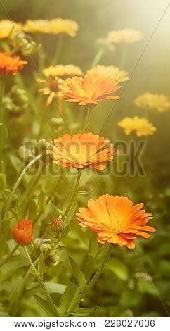 Beautiful Summer Background With Marigold Flowers Field In Sunlight. Nature Scene With Blooming Cale