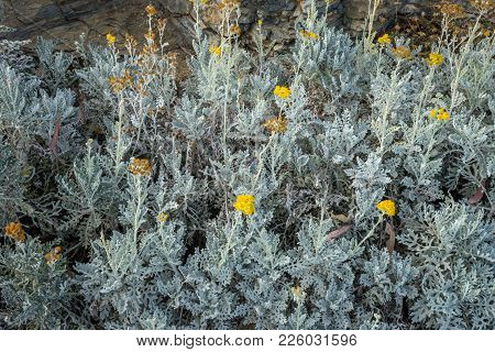 Yellow Flower On A Ligght Green Plant On The Moutain At Malaga, Spain, Europe
