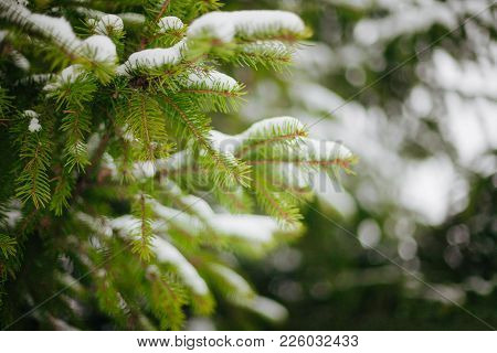Beautiful Winter Background. Scenic Wintertime Wallpaper. Snow-covered Fir Tree Branches Close Up Ou