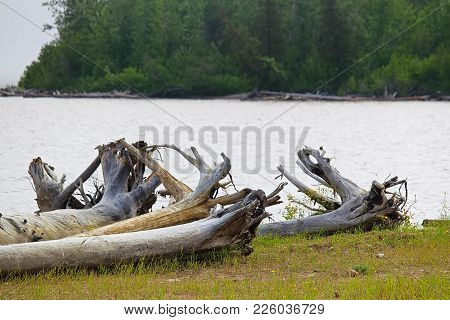 The Roots Of A Large Driftwood Tree On A Patch Of Green Grass.