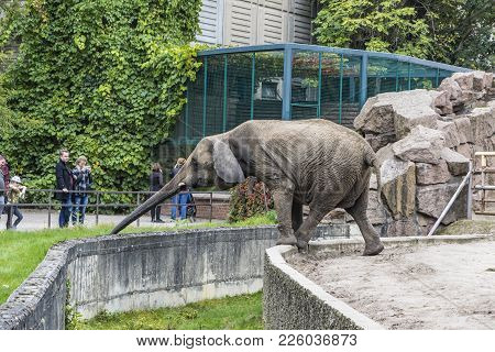 Berlin, Germany - September 23, 2017: African Elephant Eating The Grass At Its Aviary In Tierpark Be