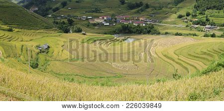 Asia Rice Field By Harvesting Season In Mu Cang Chai District, Yen Bai, Vietnam. Terraced Paddy Fiel