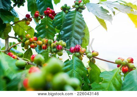 Fresh Arabica Coffee Bean On Tree At Mountain Northern Of Thailand.