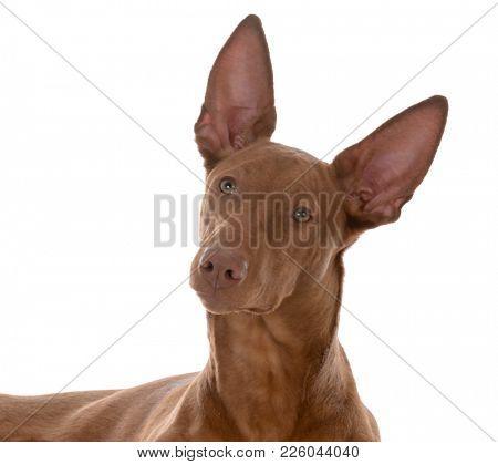male pharoah hound portrait on white background