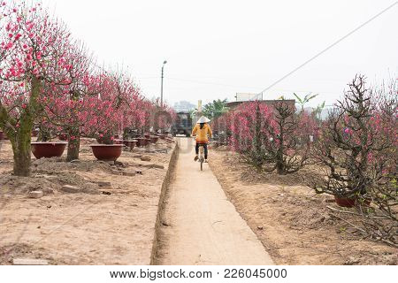 Nhat Tan Peach Flower Garden Before Tet. Peach Flower Is Symbol Of Vietnamese Lunar New Year Tet