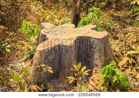 Dead Dry Sawed Stump In Tay Nguyen, Central Highlands Of Vietnam