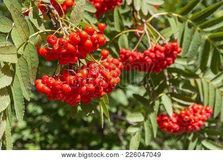Closeup Of Ripe Rowanberry Fruit On Rowan Tree