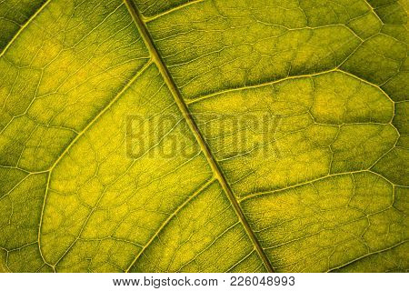 Close Up Green Venous Leaf Texture Background