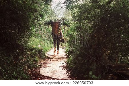 Manali, Himachal Pradesh, India  - August 27, 2016:  Indian Local Man Carries The Basket With Tree L