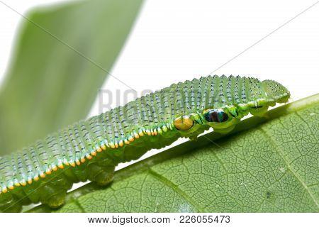 Great Orange Tip (hebomoia Glaucippe) Caterpillar