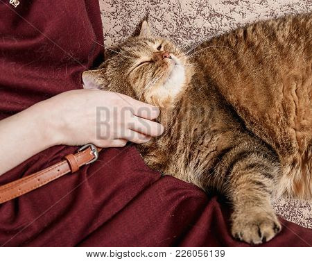 Woman Caress Tabby Cat, Hand Of Woman Caress Beautiful Half Sleepy Kitten, Sleepy Cat.