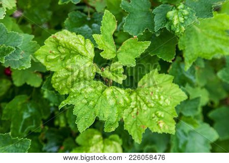 Bush Redcurrant Struck By Illness. Currants Are Infected With Gallic Aphid