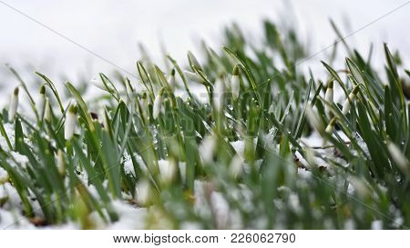 Snowdrops Spring Flowers. Beautifully Blooming In The Grass At Sunset. Delicate Snowdrop Flower Is O