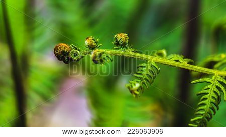 Natural Background. Unravelling Fern Frond Closeup.  Thailand