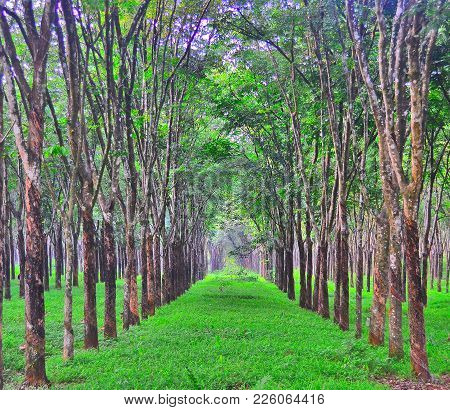 A Row Of Neatly Arranged Rubber Trees