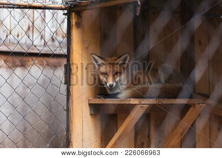 Red Fox In Captivity For Any Purpose
