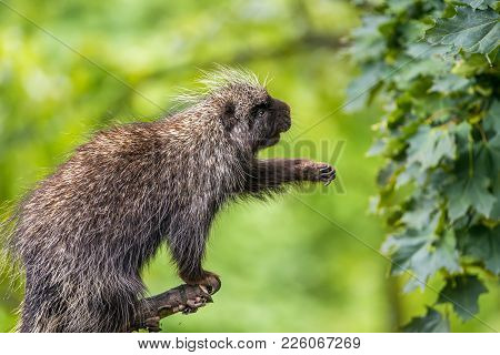 North American Porcupine Also Known As Erethizon Dorsatum Reaching For Leaves
