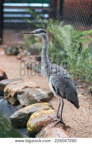 Grey Heron In Captivity For Any Purpose