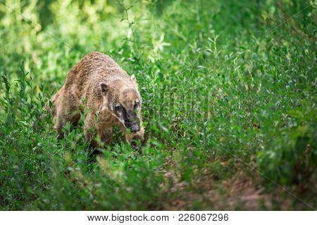 South American Coati, Or Ring-tailed Coati Also Known As Nasua Nasua