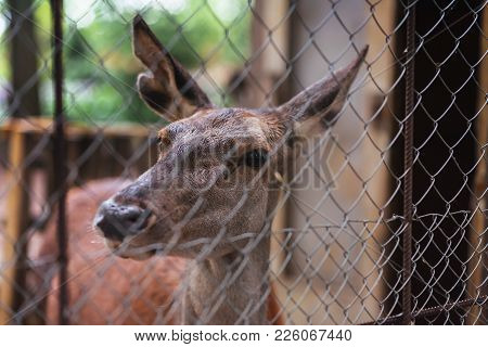 The Female Red Deer In Captivity For Any Purpose