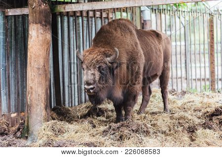 Zubr Or European Bison. In Captivity For Any Purpose