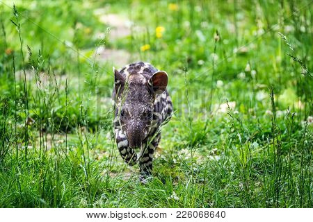 Nine Days Old Baby Of The Endangered South American Tapir, Also Called Brazilian Tapir Or Lowland Ta