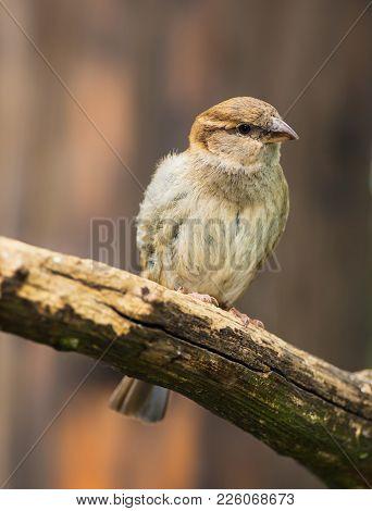 Portrait Of Female House Sparrow White Teddy Bear Passer Domesticus