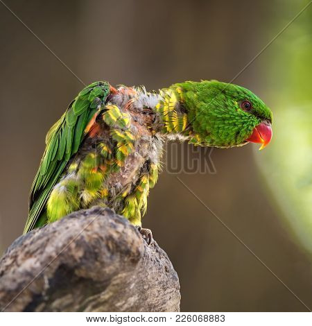 Portrait Of Scaly-breasted Lorikeet Also Known As Trichoglossus Chlorolepidotus. Other Names Include