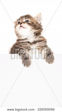 Cute Siberian Kitten With Empty Blank Billboard Over White Background